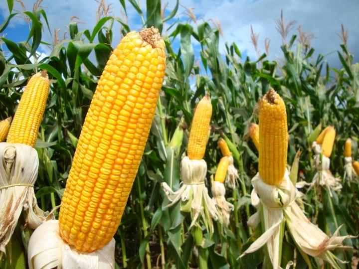 Usina de etanol de milho deve produzir 200 milhões de litros por ano em MT