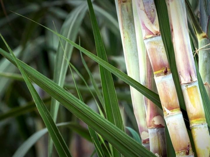 Conab realiza pesquisa da safra de cana-de-açúcar no estado