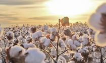 Santa Clara apresenta na Agrishow inovação que amplia em até 39% a produtividade do algodão