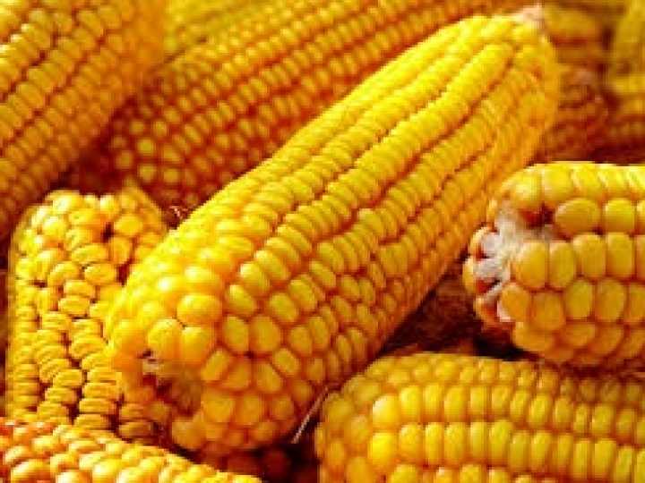 Soluções tecnológicas em híbridos de milho são destaque no Tecnoshow Comigo
