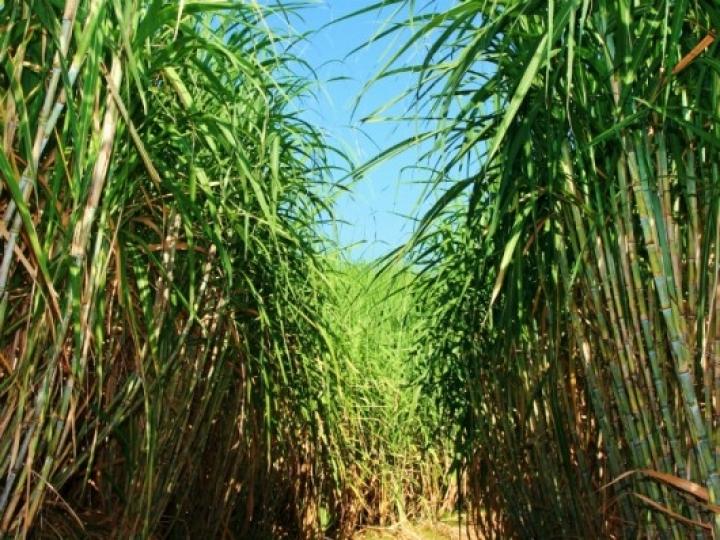 Com apoio da Tereos, produtora conquista certificado internacional de sustentabilidade para produção de cana