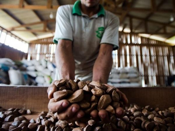 Parceria promoverá a estruturação, o fortalecimento e o aprimoramento de cadeias produtivas como da castanha-do-Brasil - Foto: Agência Brasil