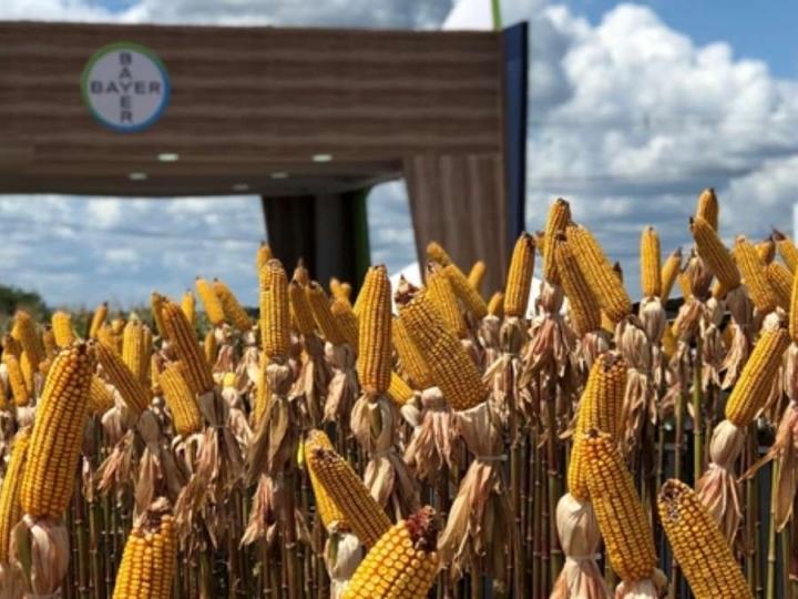 Falta de chuvas pode intensificar a incidência da larva alfinete na safrinha de milho