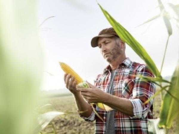 A tecnologia VT PRO3® confere proteção contra as principais pragas da cultura e proporciona maior flexibilidade no manejo de plantas daninhas devido à sua tolerância ao herbicida glifosato.  Foto: Divulgação