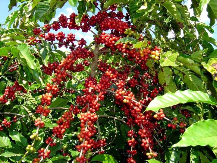 Pesquisa no IAC avaliou adubação nitrogenada em plantas jovens de cafeeiro