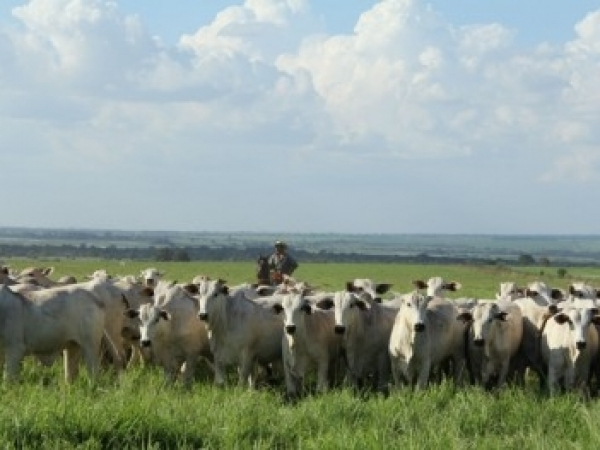 Resultados de projeto com pesquisadores brasileiros e britânicos mostra que sistema agrícola consorciado melhora a qualidade do solo, aumenta a produtividade na pecuária e favorece o meio ambiente.  Foto: André Julião / Agência FAPESP
