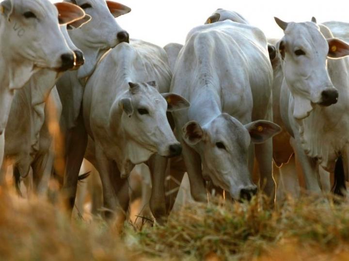 Tereos inova e lança fórmula pronta para alimentação de bovinos