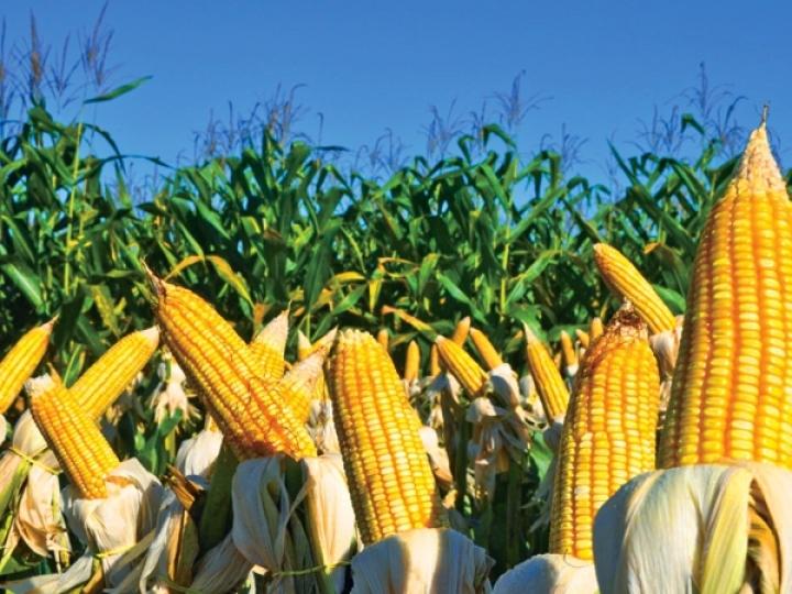 Tecnologia embarcada em híbridos de milho impulsiona safra no Tocantins