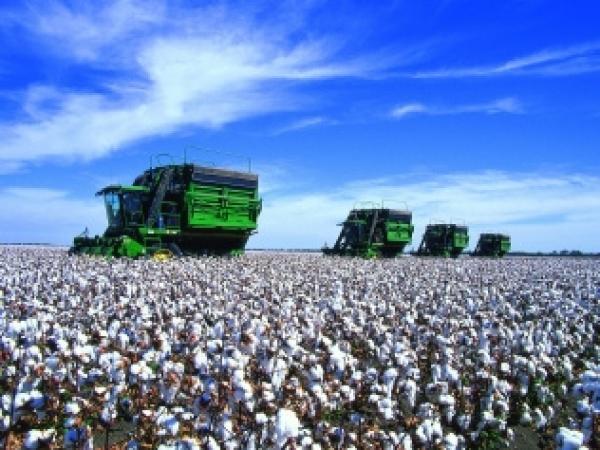 O algodão foi a primeira cultura para a qual a Bayer lançou o novo fungicida Fox Xpro, que traz otimização e flexibilidade para o manejo inteligente das doenças do algodoeiro. Foto: Divulgação