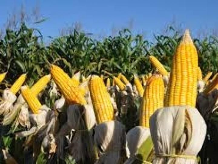 Lançada a primeira semente de milho selecionada exclusivamente para produção orgânica no Brasil