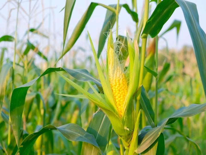 Produção de etanol a partir do milho é tendência cada vez maior
