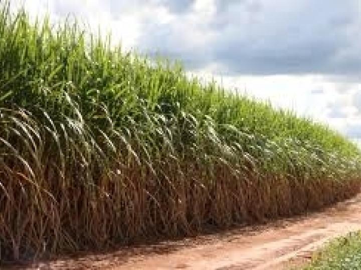 Motivada pela Ásia, oferta global de açúcar pode despencar em 2019/20