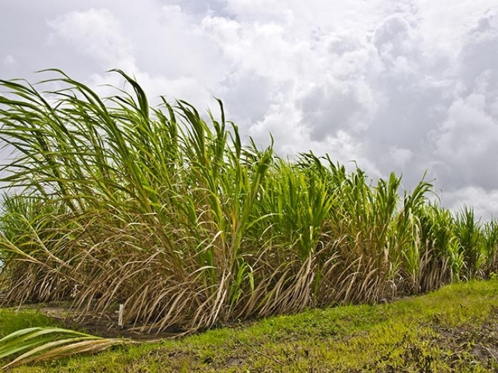 Simulador melhora lucratividade e sustentabilidade de canaviais em Alagoas