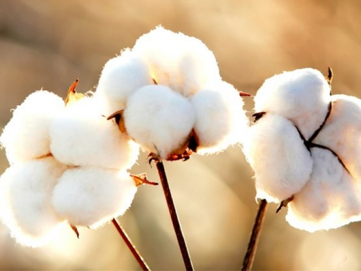 Aumento da produção de algodão no Brasil traz novos desafios para a pesquisa