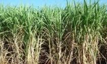 Irrigação localizada eleva produtividade média do canavial para 89 ton/ha com 20 cortes