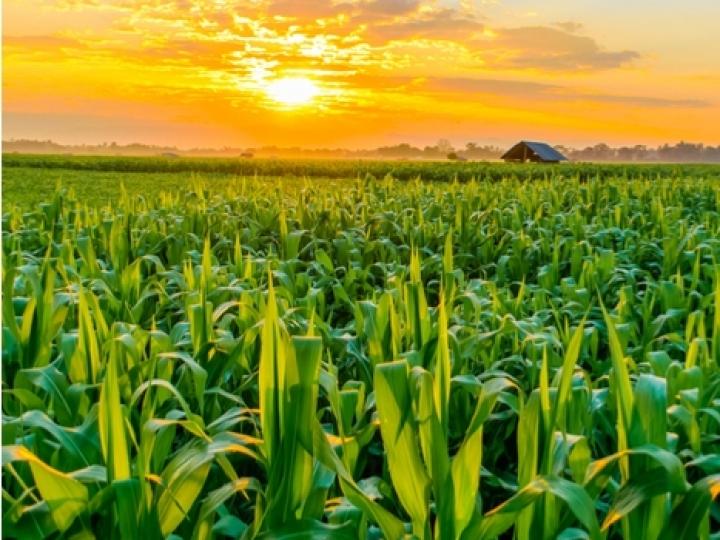 Preço do milho no mercado interno tende a subir com expectativa de alta na demanda externa