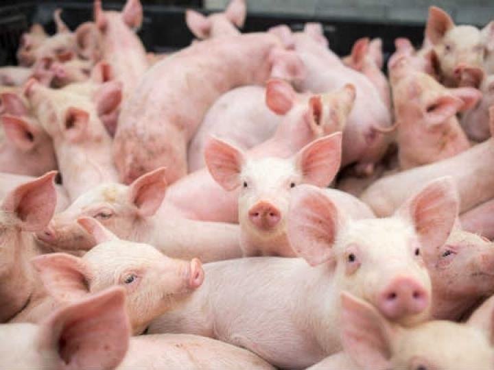 Exportações de carne suína crescem 41% em maio