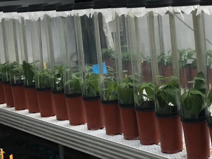 Fungos do bem promovem crescimento de plantas e controle de pragas