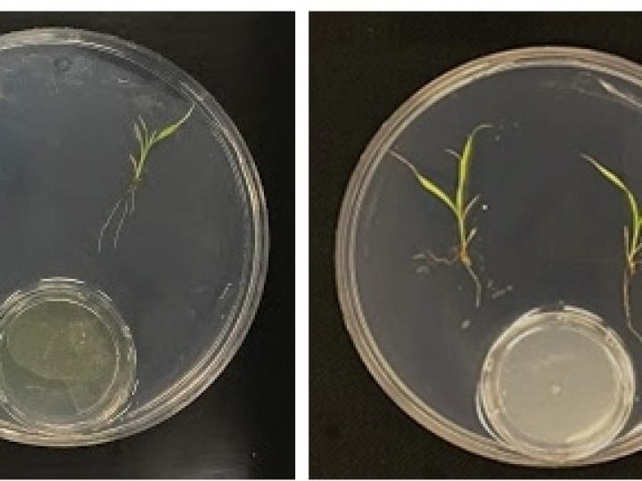 Bactérias substituem fertilizantes químicos sem causar impacto ambiental