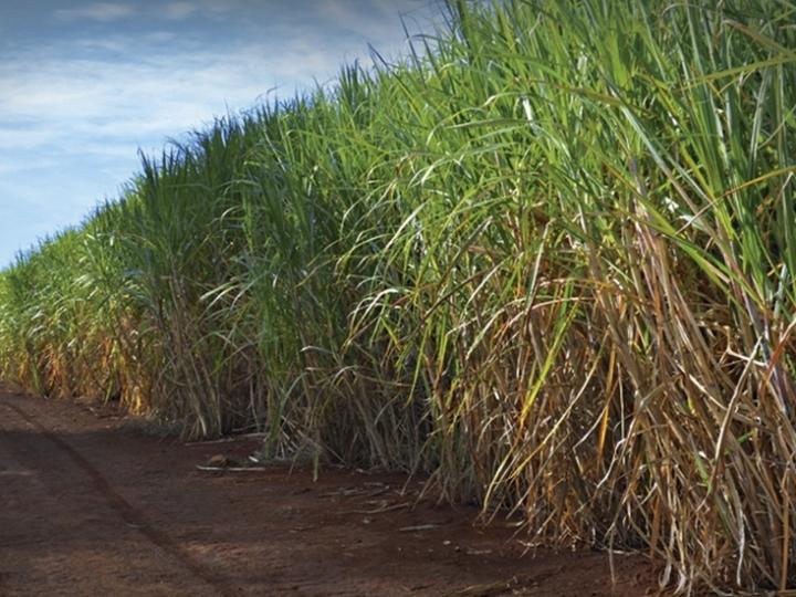 BASF apresenta tecnologia inédita para cana-de-açúcar