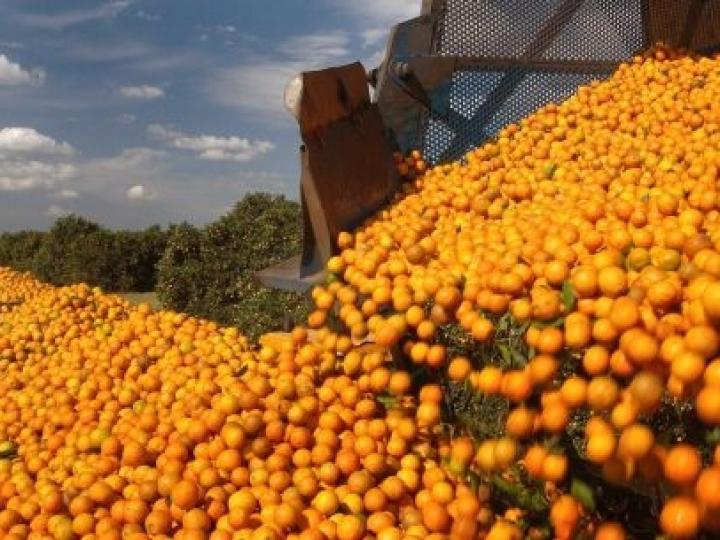 Inteligência artificial é aplicada para contar laranjas no pomar