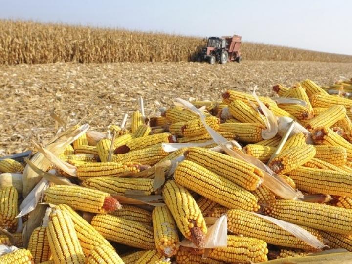 Safra de milho de inverno no MT é de 5,1 milhões de hectares