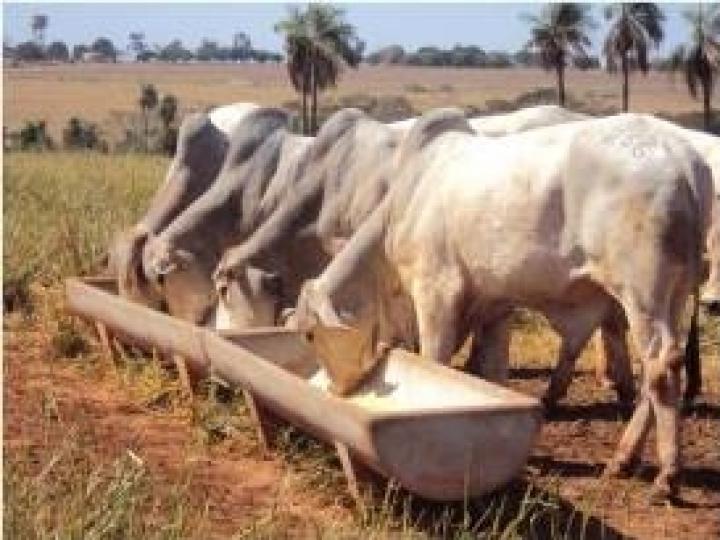 140 bovinos do IZ para venda