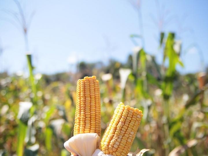 Inoculante reduz uso de nitrogênio em milho e aumenta produtividade em mais de 100%