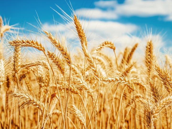 Cresce produtividade da cultura do trigo