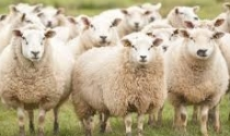 Dia de campo no IZ sobre Alimentação de ovinos na seca