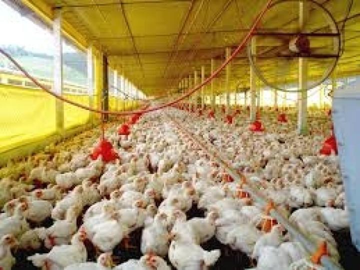 Exportações de carne de frango mantém alta de 5,8% em 2019