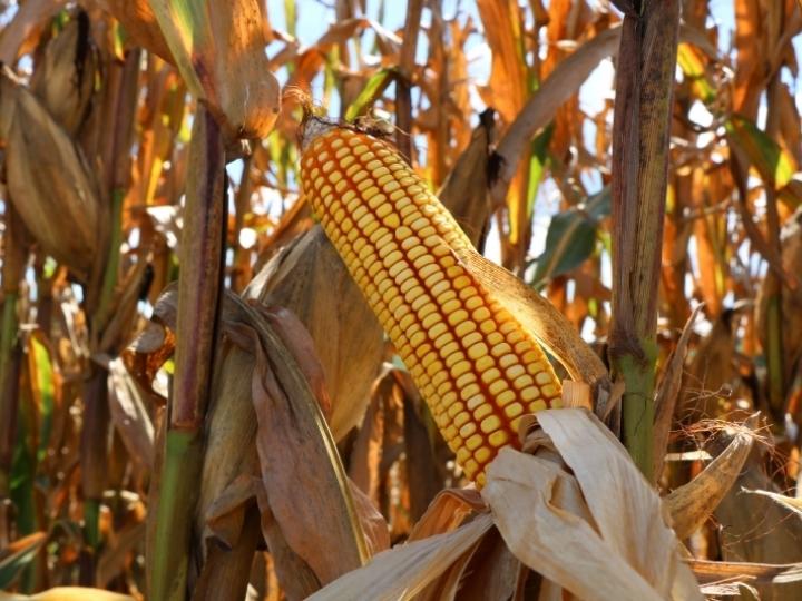 Embarques de milho somam US$ 1,34 bi em agosto