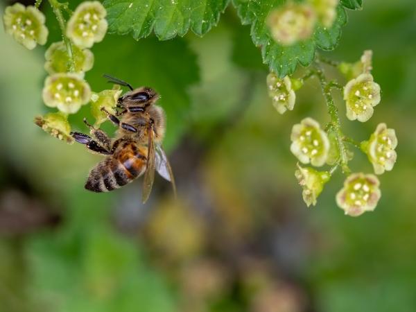 Abelhas também podem ser vítimas de fungicida. Foto: Pixabay