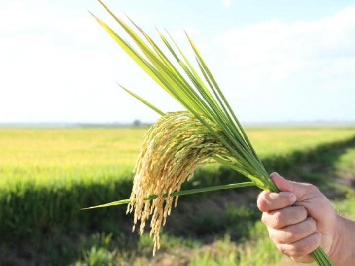 Novos mapeamentos agrícolas de arroz irrigado e culturas de verão