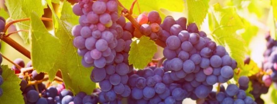 Brasil autoriza importação de uva e alho do Egito
