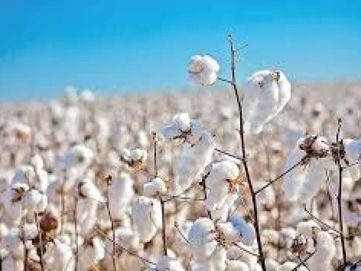 Alteração no período do vazio sanitário do algodão