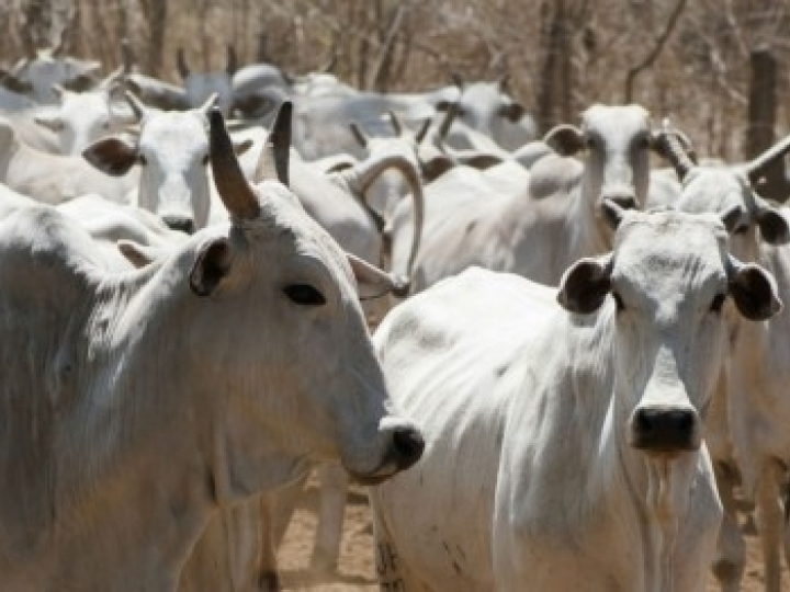 Identificados genes potencialmente ligados à resistência do gado a variações ambientais