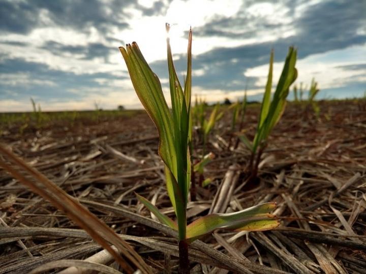 Uso da palha da cana para gerar bioenergia requer critérios