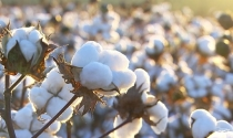 Exportação de algodão brasileiro terá alta de 30%