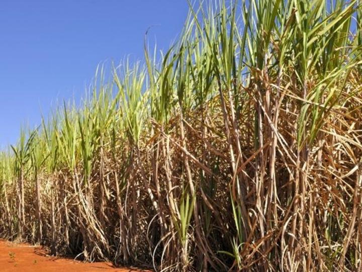 Chineses estudam investir em quatro plantas de açúcar no Brasil
