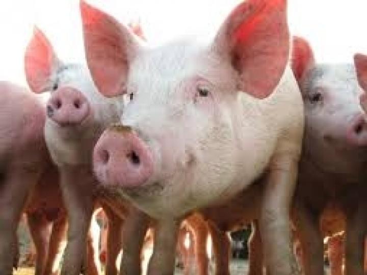 Tecnologia IZ com menor impacto ambiental para produção de suínos