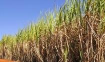Longevus Soca, associado à vinhaça em aplicação na linha da cana, gera alta produtividade e revitalização do solo