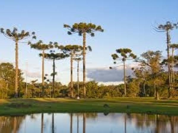 A araucária ocorre predominantemente nos estados do Sul do Brasil e em algumas regiões serranas do Sudeste. Foto: Internet