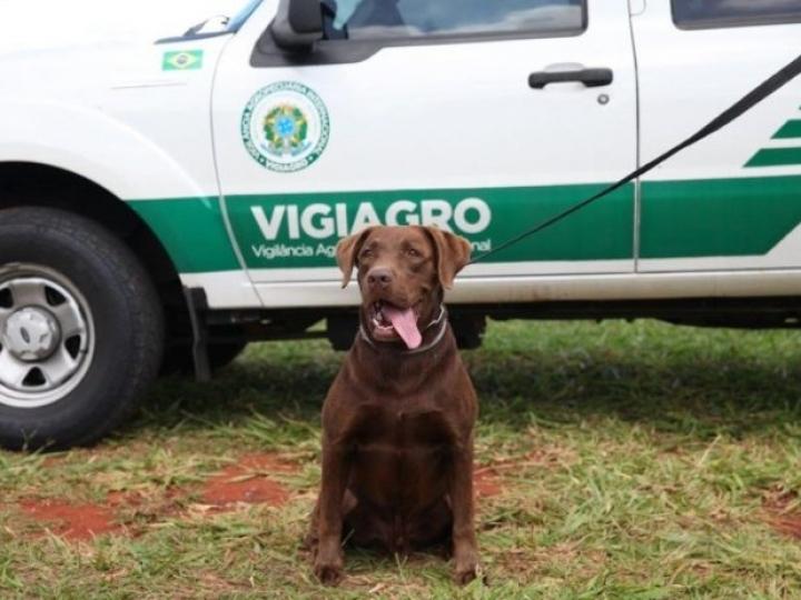 Cachorro Léo comemora cinco anos com muito trabalho na inspeção agropecuária
