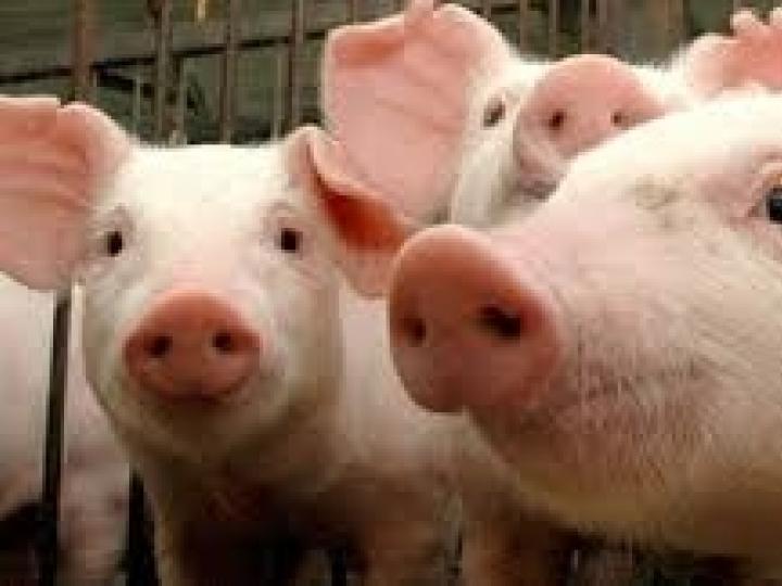 Confirmado foco de Peste Suína Clássica em Alagoas