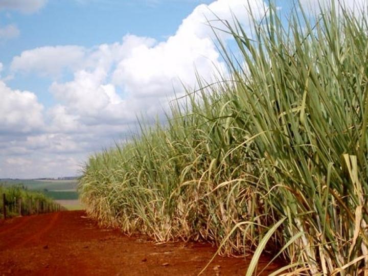 Plantio de cana vai ter crédito para irrigação