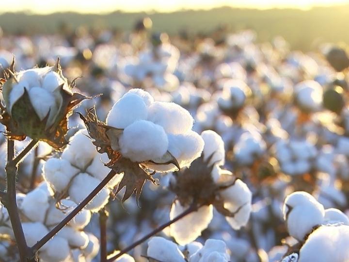 ANEA projeta recorde histórico para o algodão