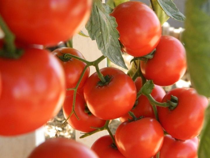 Novo método funciona como vacina para controle de viroses em tomateiro