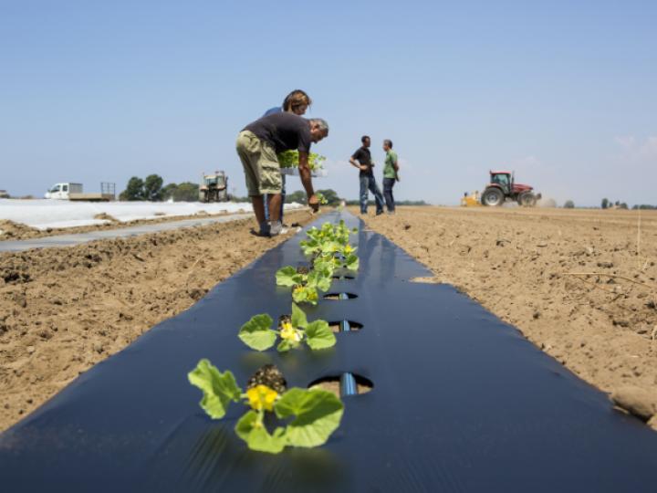 Cultivo com mulching de bioplástico compostável: menor custo e maior produtividade