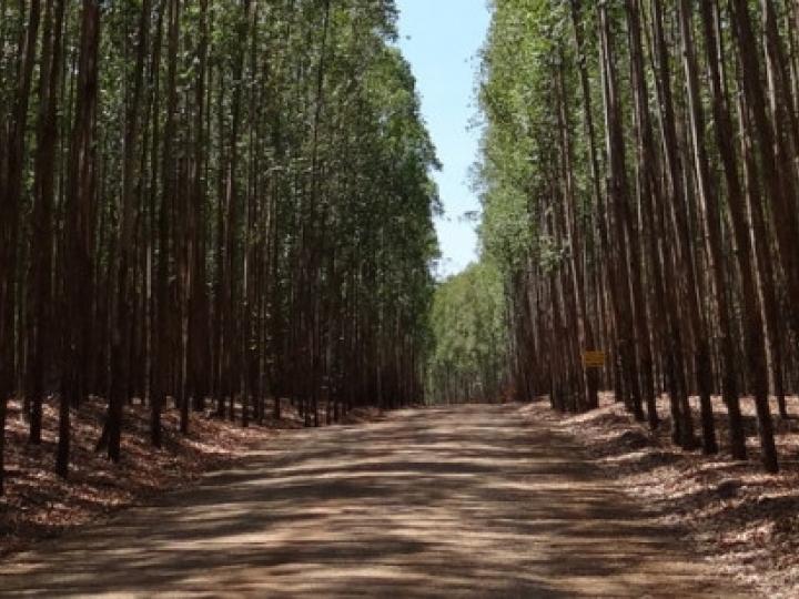Eucalipto cresce mais em sistemas ILPF comparado ao plantio em monocultura
